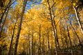 Colorado Autumn Aspens in their Splendor print