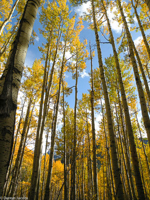 Autumn Aspens, Ophir Pass Road, Telluride, San Juan Mountains, Colorado