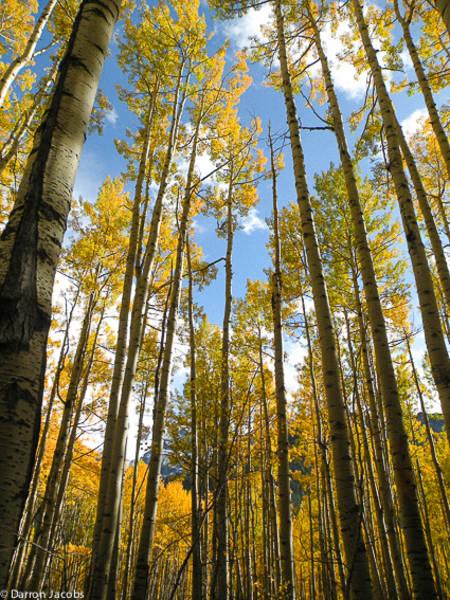 Autumn Aspens, Ophir Pass Road