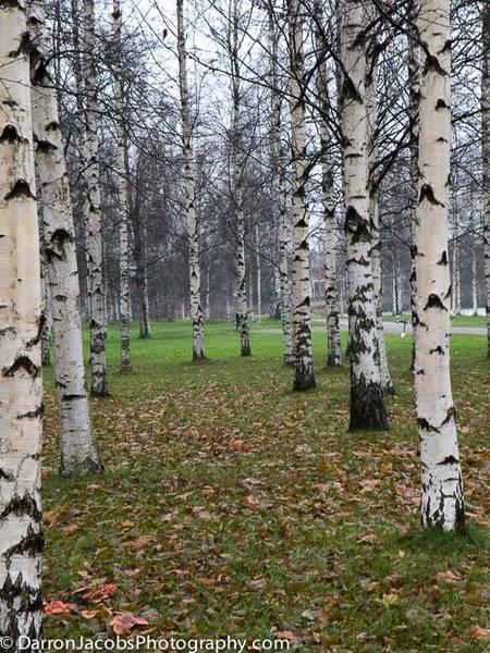 Pori, Finland, Silver Birches