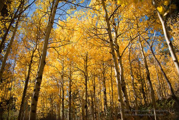 Colorado Autumn Aspens in their Splendor